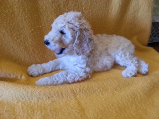 Poodle (Standard) Puppy For Sale in JEFFERSON, OH