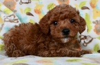 Apricot Maltipoo male puppy for sale