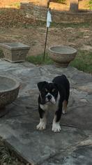 Bulldog Puppy For Sale in RUNAWAY BAY, TX