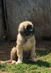 Anatolian Shepherd Puppy For Sale in OREGON CITY, OR,