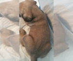 Small #22 Mastiff