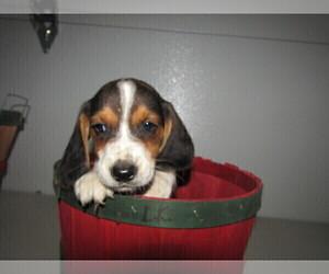 Beagle Puppy for sale in MISHAWAKA, IN, USA