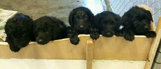 Labradoodle Puppy For Sale in AUDUBON, IA