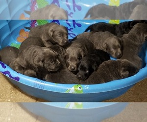 Labrador Retriever Puppy for Sale in GRABILL, Indiana USA
