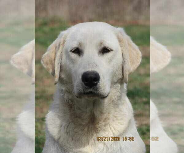 Medium Photo #1 Labrador Retriever Puppy For Sale in SARCOXIE, MO, USA