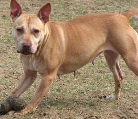 Petra - American Bulldog / Pit Bull Terrier / Mixed Dog For Adoption