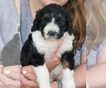 Puppy 1 Bernedoodle