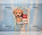 Small #13 Maltipoo-Poodle (Toy) Mix