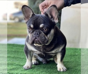 Father of the French Bulldog puppies born on 07/23/2020