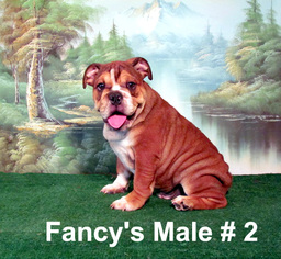 English Bulldogge Puppy For Sale in DALTON, GA
