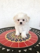 Maltese Puppy For Sale near 90020, Los Angeles, CA, USA
