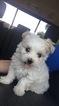 Maltipoo Puppy For Sale in MACOMB, MI, USA