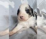 Puppy 3 Aussiedoodle-Poodle (Standard) Mix