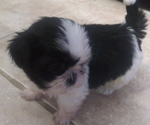 Shih Tzu Puppy for sale in PARRISH, FL, USA