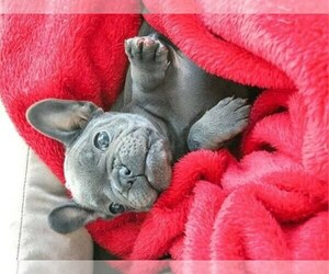 French Bulldog Puppy for sale in HAMPTON, GA, USA