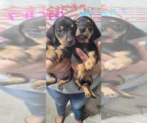 Dachshund Puppy for Sale in EL PASO, Texas USA