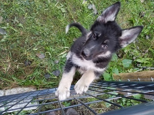 Native American Indian Dog Puppy For Sale in CHERRY CREEK, NY, USA