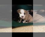 Puppy 3 American Staffordshire Terrier