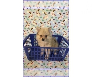 Pomeranian Puppy for sale in CLARKSVILLE, TN, USA