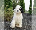 Puppy 14 Miniature Bernedoodle