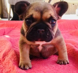 French Bulldog Puppy For Sale in TEMECULA, CA, USA