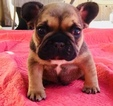 French Bulldog Puppy For Sale in TEMECULA, California,
