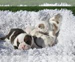 Small #18 English Bulldog