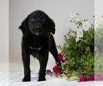 Puppy 4 Australian Retriever