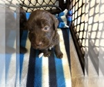 Small #19 Labradoodle