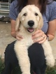 Goldendoodle Puppy For Sale in GRANDIN, MO, USA