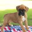 Boxer Puppy For Sale in GAP, Pennsylvania,