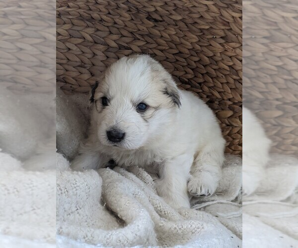 Medium Photo #84 Great Pyrenees Puppy For Sale in FALCON, CO, USA