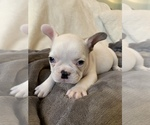 Small Photo #7 French Bulldog Puppy For Sale in JOHNS ISLAND, SC, USA