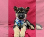 Small Photo #6 German Shepherd Dog Puppy For Sale in NEW PROVIDENCE, PA, USA
