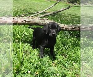 Labrador Retriever Dog for Adoption in CHANUTE, Kansas USA