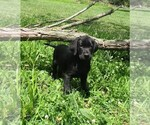 Labrador Retriever Puppy For Sale in CHANUTE, KS, USA