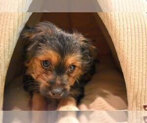 Maltese Puppy for sale in IRVINE, CA, USA