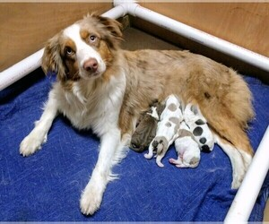 Mother of the Aussiedoodle puppies born on 02/09/2021