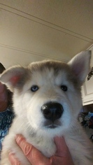 Alusky Puppy For Sale near 98663, Vancouver, WA, USA