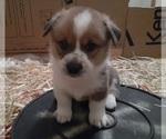 Puppy 7 Aussie-Corgi