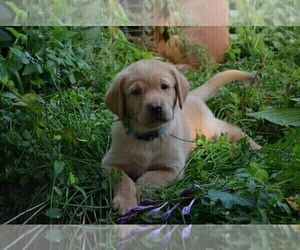 Labrador Retriever Puppy for Sale in ANNANDALE, Minnesota USA