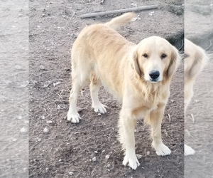 Father of the Golden Retriever puppies born on 11/03/2020