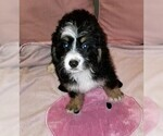 Small Photo #1 Miniature Bernedoodle Puppy For Sale in BELLVILLE, OH, USA