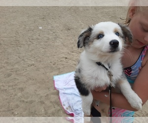 Australian Shepherd Puppy for sale in ALLEN, IN, USA