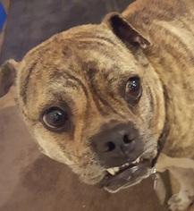Ori-Pei Dog For Adoption in Lithia, FL
