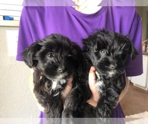 Australian Shepherd-Poodle (Toy) Mix Puppy for Sale in PURDON, Texas USA
