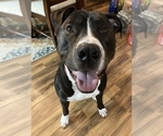 Small American Pit Bull Terrier-Great Dane Mix