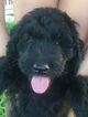 Puppy 0 Aussiedoodle