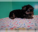 Small Photo #1 Yorkshire Terrier Puppy For Sale in PATERSON, NJ, USA