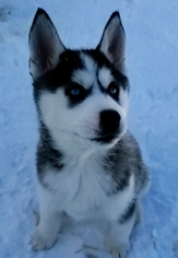 Siberian Husky Puppy For Sale near 43011, Centerburg, OH, USA
